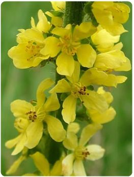 agrimony-flowers-close-up