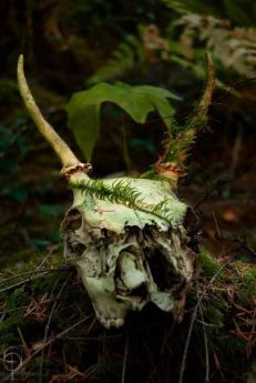 deer-skull-in-woods