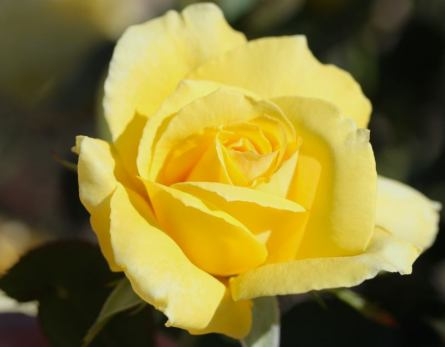 For Blog best Golden Rose Palatine